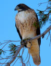 Hawk on Sentinel Dome in Yosemite